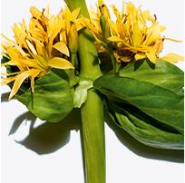 黃金龍膽草