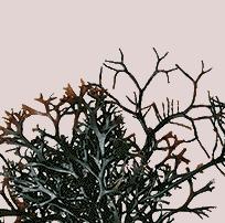 愛爾蘭紅藻