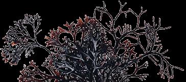 愛爾蘭海藻