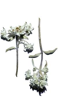有機雪絨花